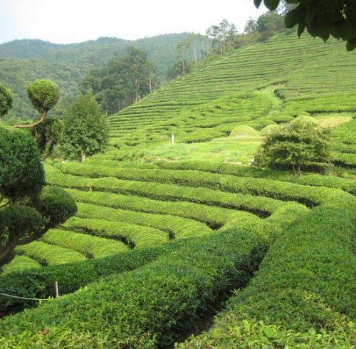 Green.tea_-500x490